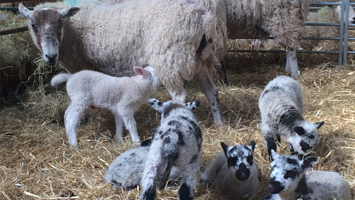A mother sheep with her lambs