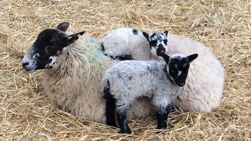 A mother sheep with two lambs in the hay