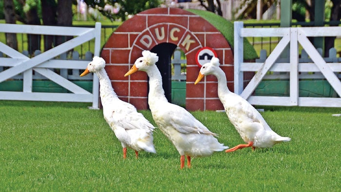 White Crested Ducks in the duck arena