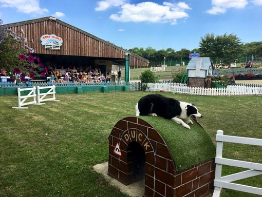 A Collie dog in the duck arena