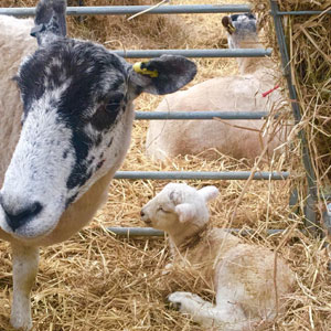 A Ewe and little Lamb in the hay