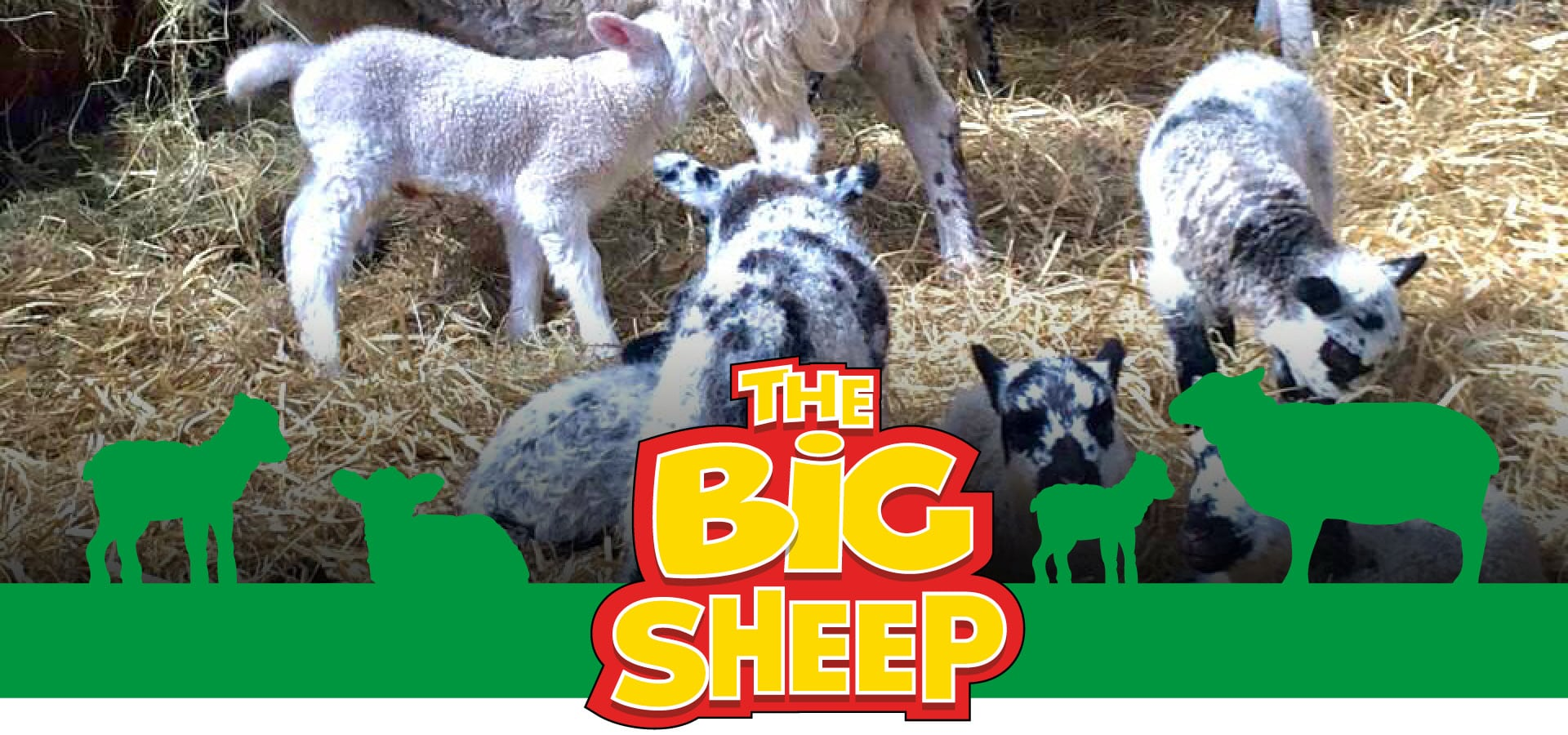 The Big Sheep Lambing Live