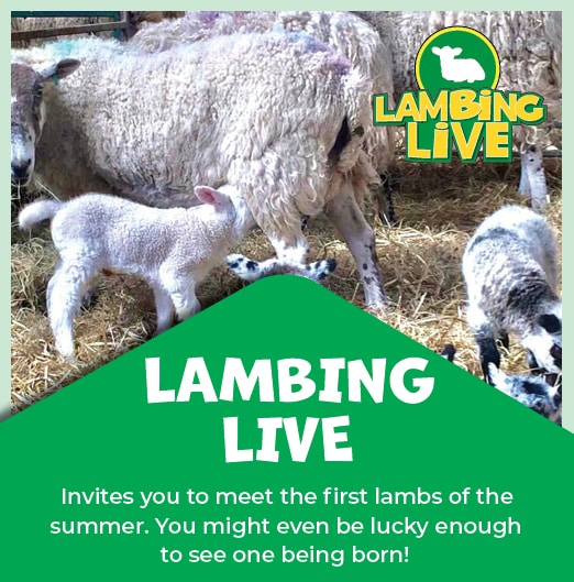 Lamming Live, meet the first lambs of the summer.